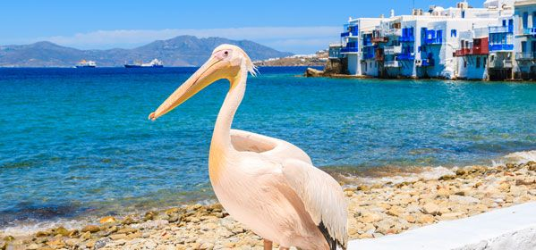 Petros the Pelican