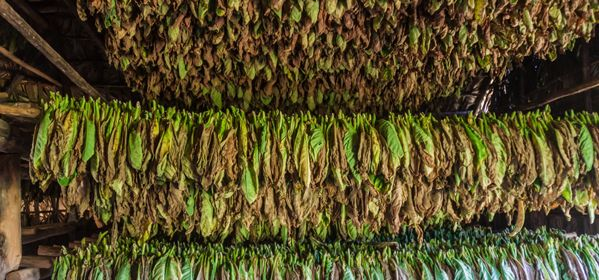 Tobacco Drying room