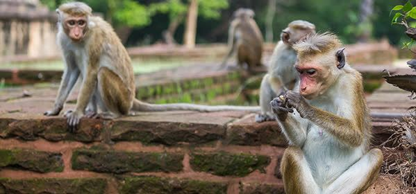 Things to do in Polonnaruwa - Monkey Kingdom