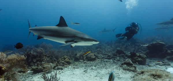 Things to do in Eleuthera - Shark Diving