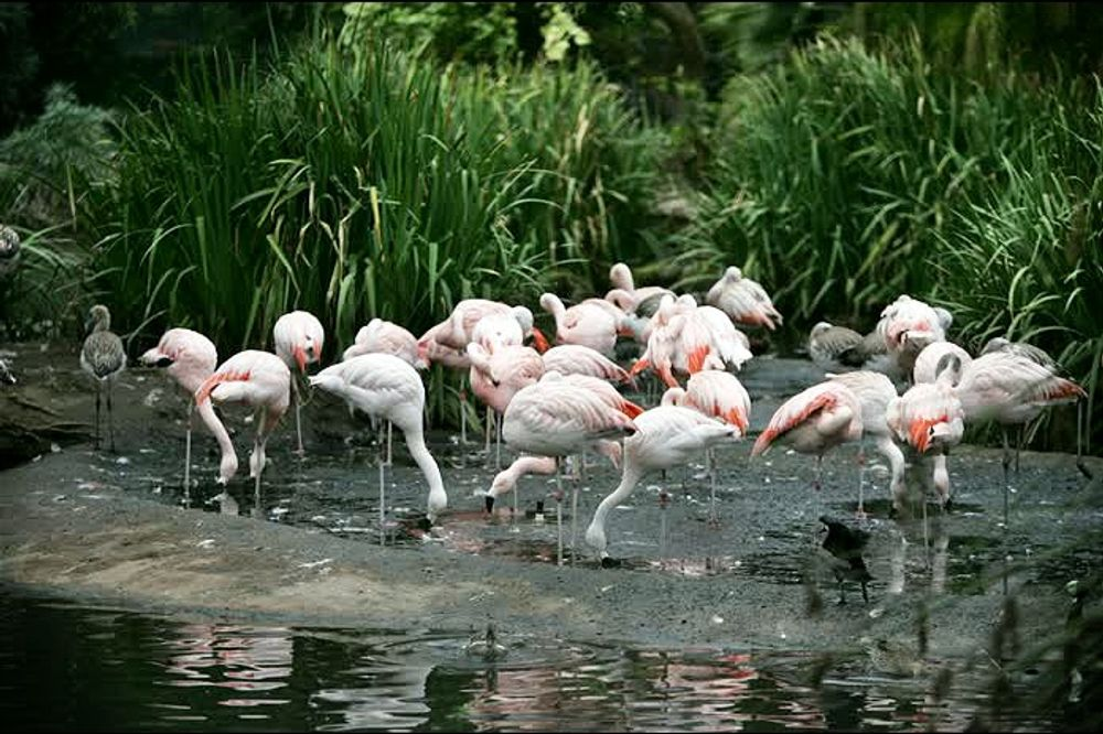 title: A Group of Flamingos at the Zoo of San Diego