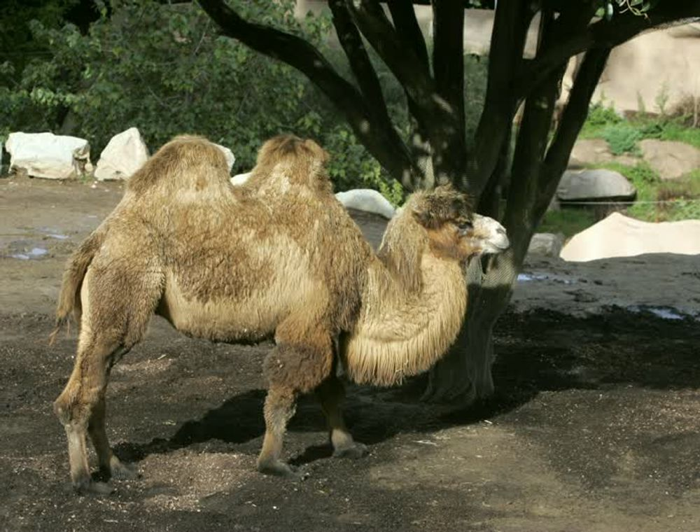 title: A Short Two Humped Camel in San Diego Zoo