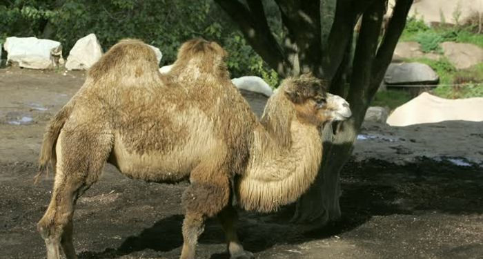 title: Camels in San Diego