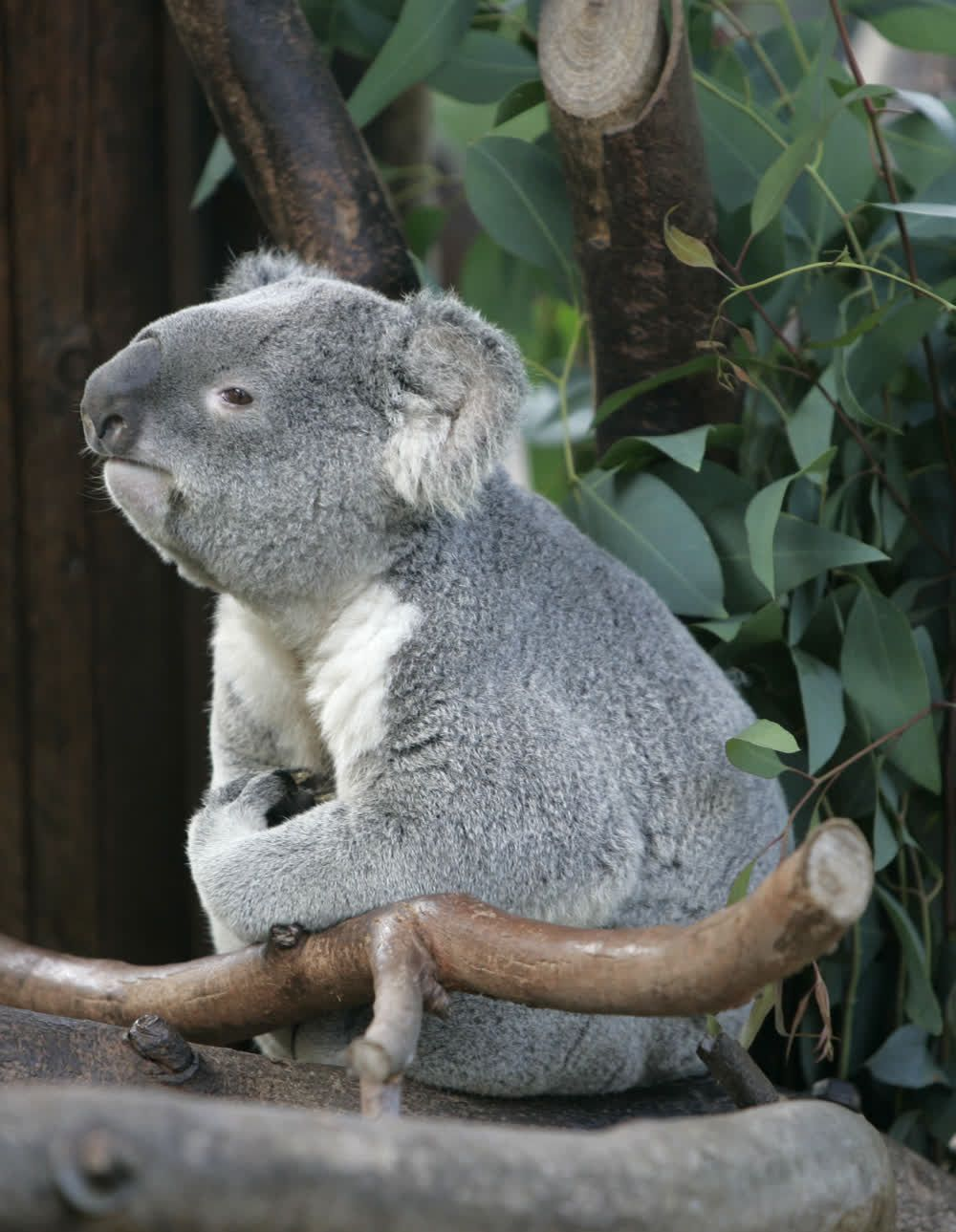 Adorable Bored Koala Bear at the Zoo in San Diego