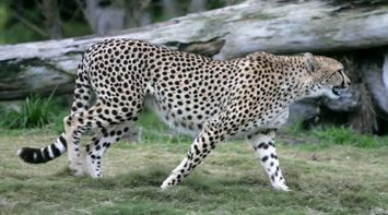 title: An ANGRY Leopard Ready to Pounce