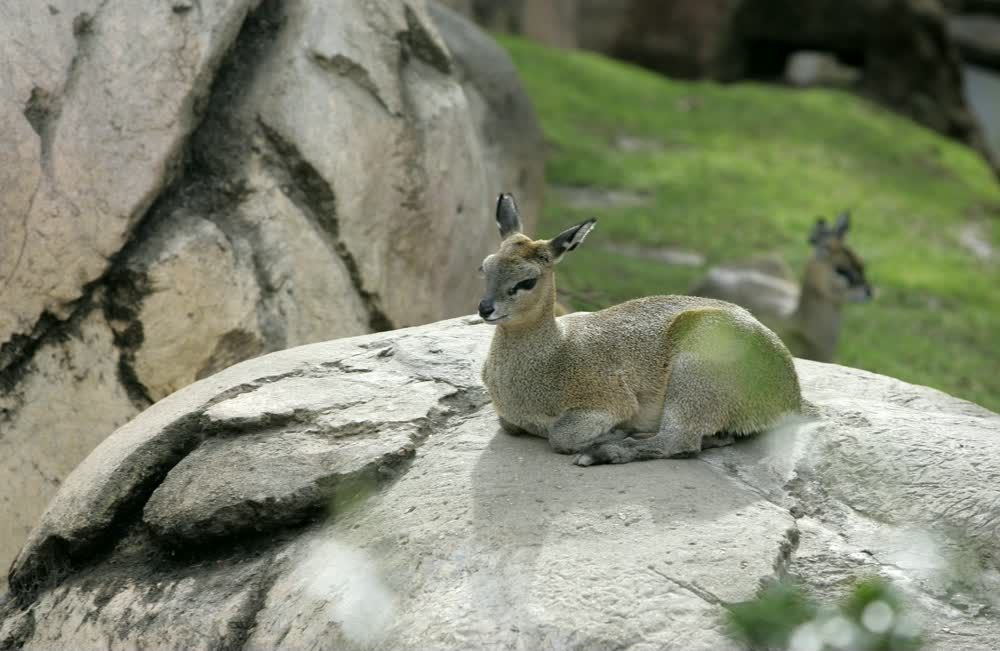 title: Bambi at San Diego Zoo Sitting on a Rock
