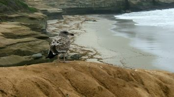 title: La Jolla San Diego Beach birds