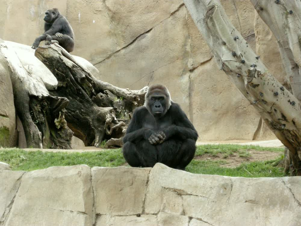 Gorillas in San Diego zoo 2