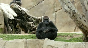 title: Black Gorillas at the San Diego Zoo