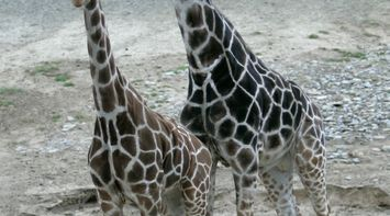 title: Cool Tall Giraffes of the San Diego Zoo