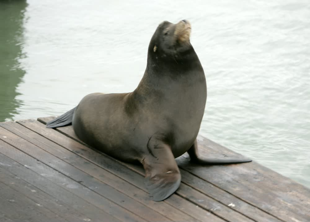 Cute Grey Seal on the Pier in San Francisco