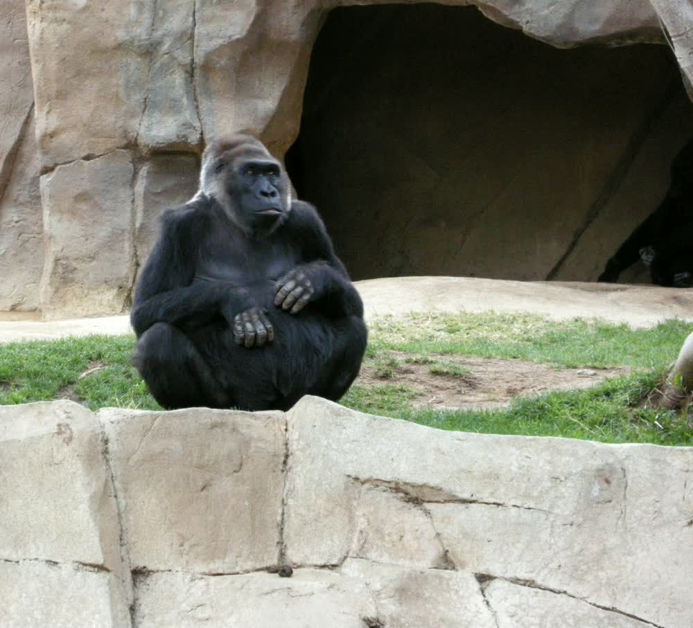 title: Gorillas in San Diego zoo