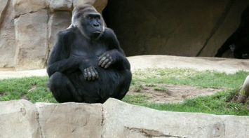 title: Cute Huge Gorilla Monkey at San Diego Zoo of California