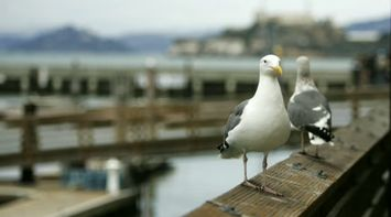 title: Cute Seagulls on the Pier in San Francisco
