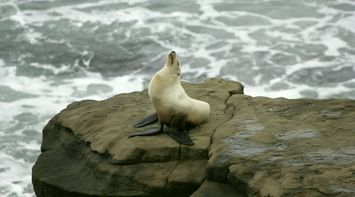 title: Cute Seal on a Rock at La Jolla Beach of San Diego