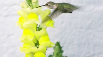 title: Cute Small Bird Kissing a Yellow Flower Plant in Nature