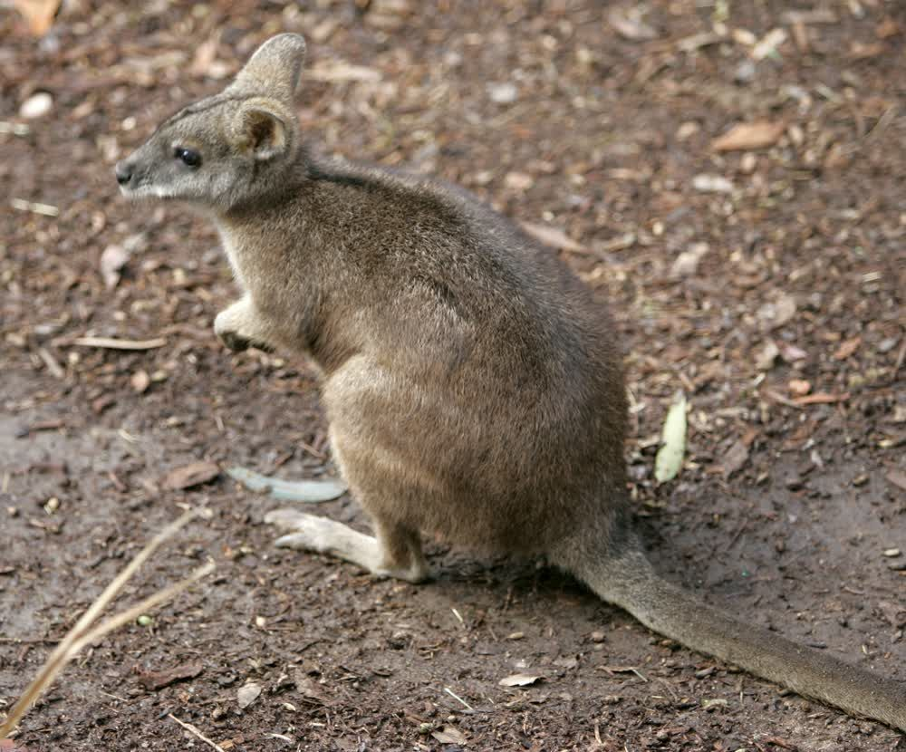 title: Cute Small Kangaroo at San Diego Zoo