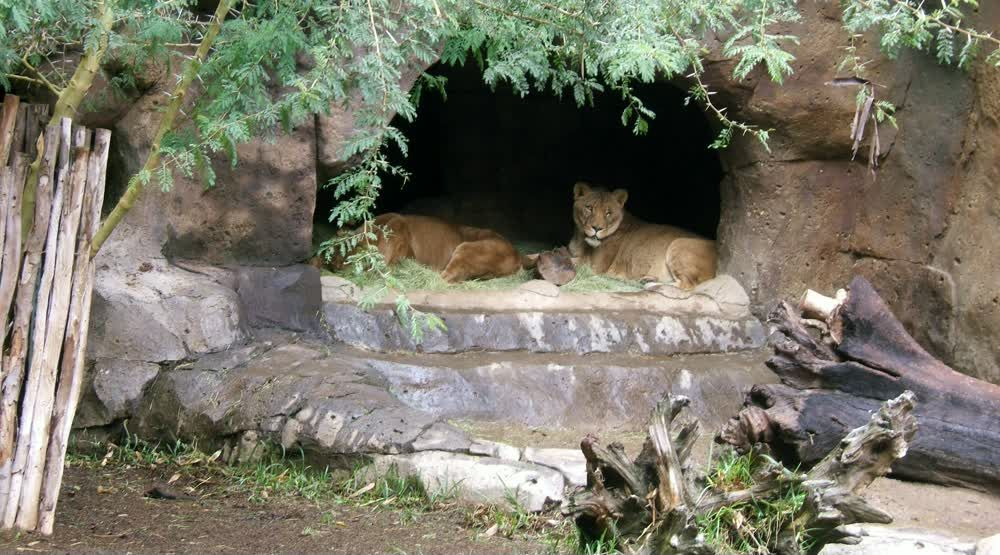 title: Female Lions in the Cave at San Diego Zoo