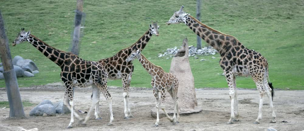 title: Giraffe Family Meeting at the San Diego Zoo