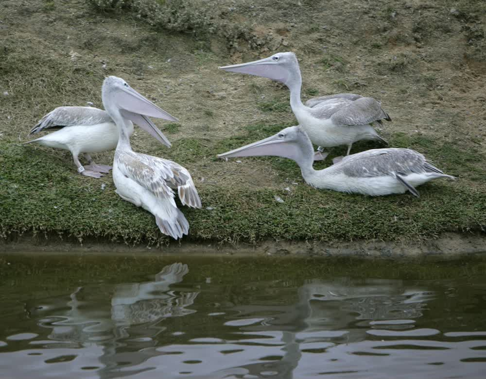 title: Group of Pelican Birds at the San Diego Zoo