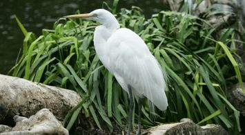 title: Large White Bird Sitting by the Water at the San Diego Zoo