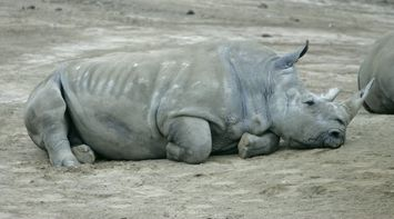 title: Lazy Rhino on a Cool Day in San Diego Zoo