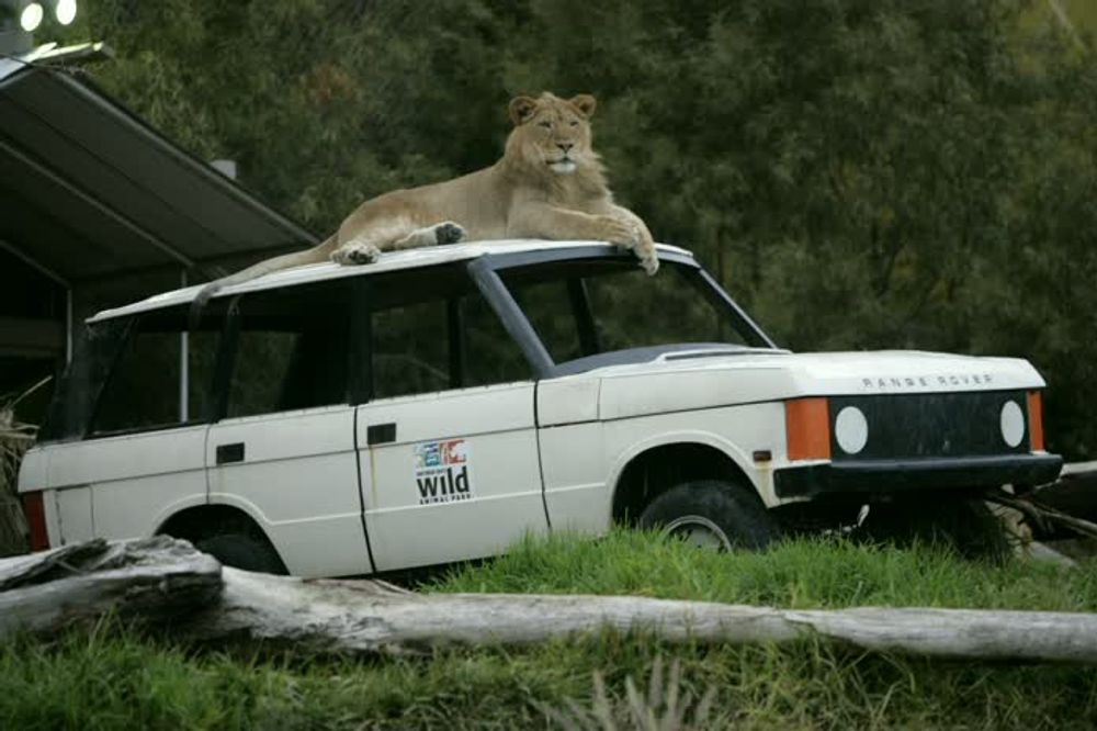 title: Majestic King Lion Sitting Atop a White Jeep at the San Diego Zoo