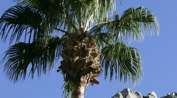 title: Palm Trees General Nature of the Beach in California