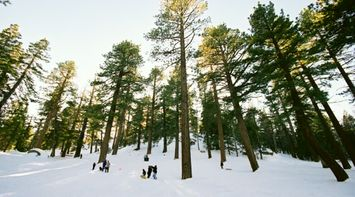 title: People Playing in the Snow Below the Tall Trees