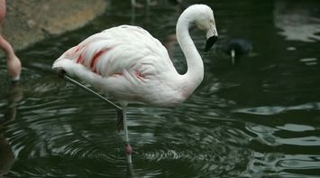 title: Pink Elegant Flamingo at the San Diego Zoo