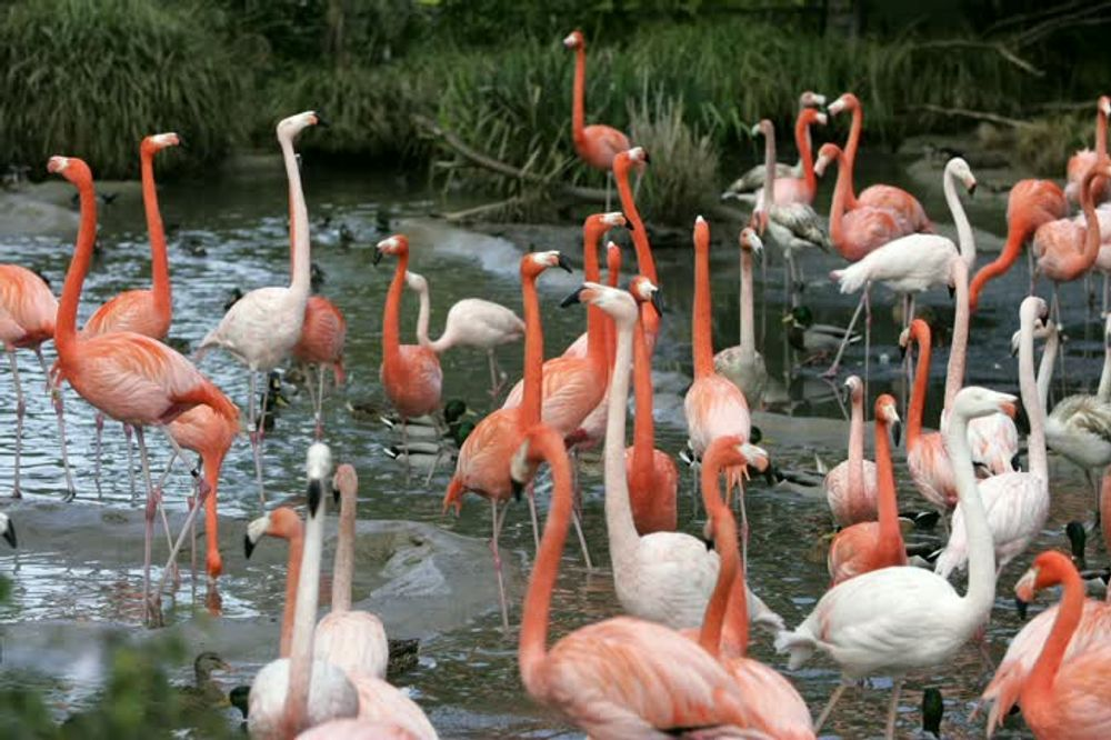 title: Pink and White Flamingos at the San Diego Zoo