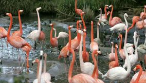 title: Flamingos in San Diego Zoo
