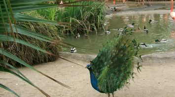 title: Pretty Male Peacock by the Ducks in the Lake at San Diego Zoo