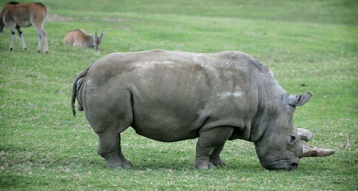 title: Rhinos in zoo of San Diego