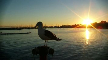 title: Seagull at Sunset at Stearns Wharf