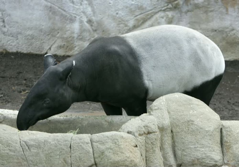 Tapir in San Diego zoo