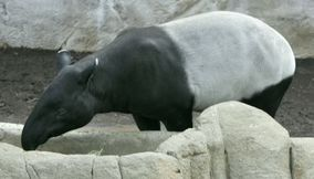 title: Tapir in San Diego zoo