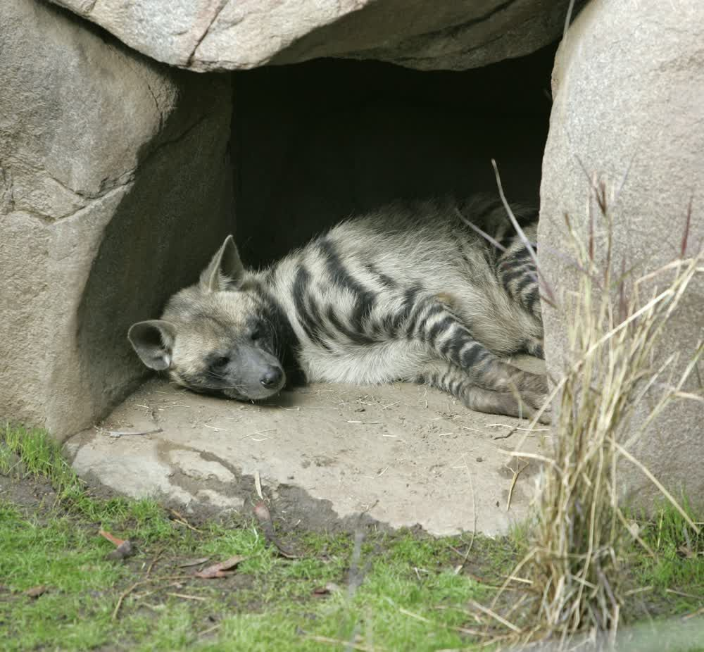Hyena in San Diego zoo