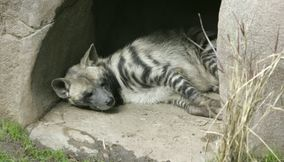 title: Hyena in San Diego zoo