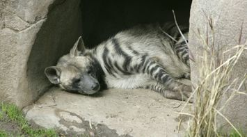 title: Striped Sleeping Hyena in a Cave at the San Diego Zoo