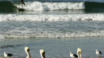 title: Surfing on a Difficult Wave by the Pelicans