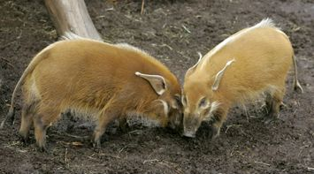 title: Ugly Brown Pigs in San Diego Zoo