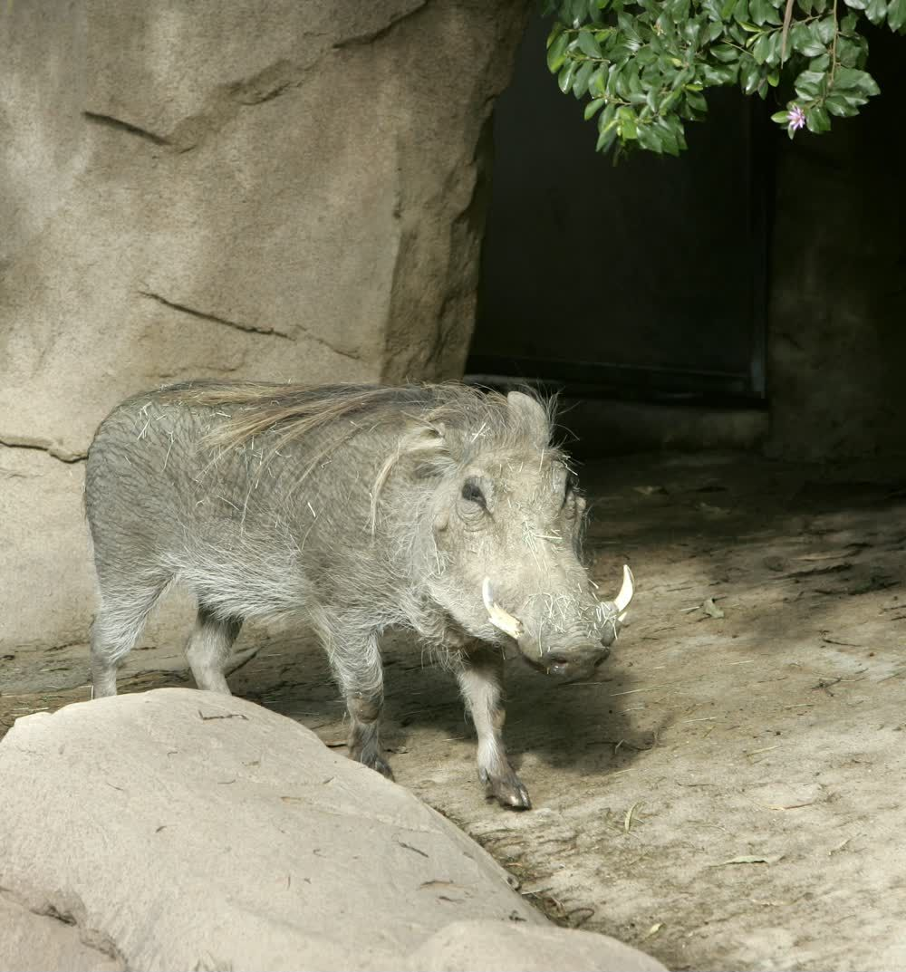title: Ugly Messy Warthog at San Diego Zoo