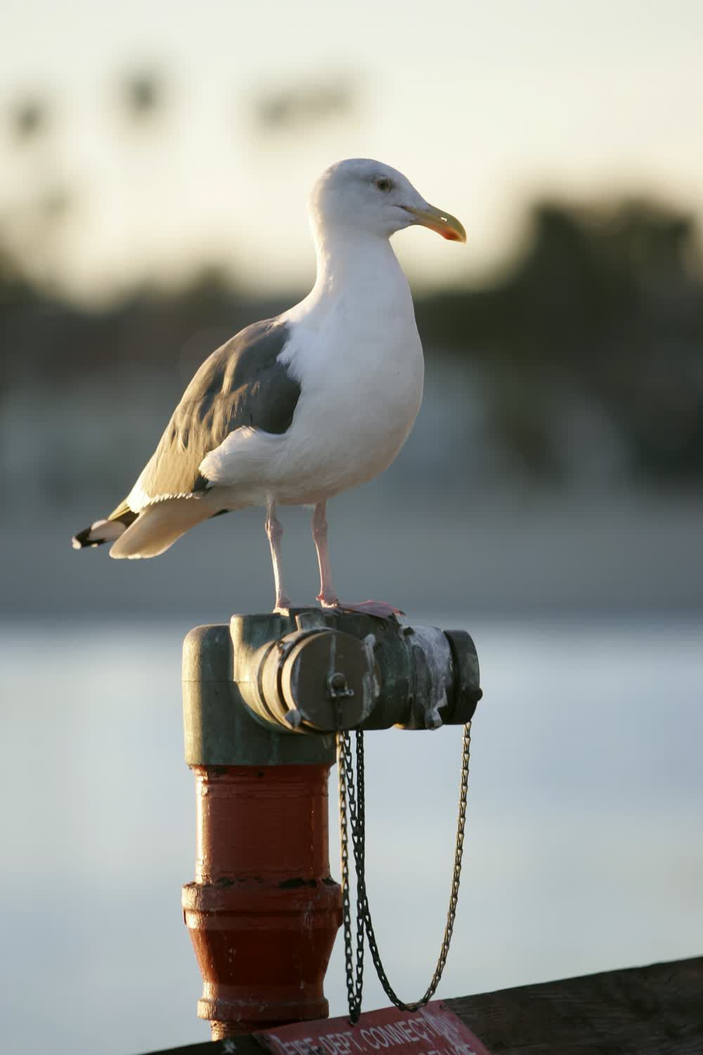 title: Seagull at Santa Barbara Beach