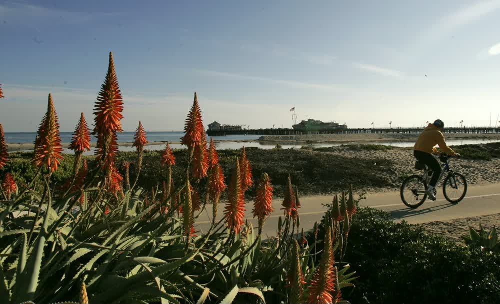 title: Biking by the Orange Cone Flowers at the Beach of Santa Barbara