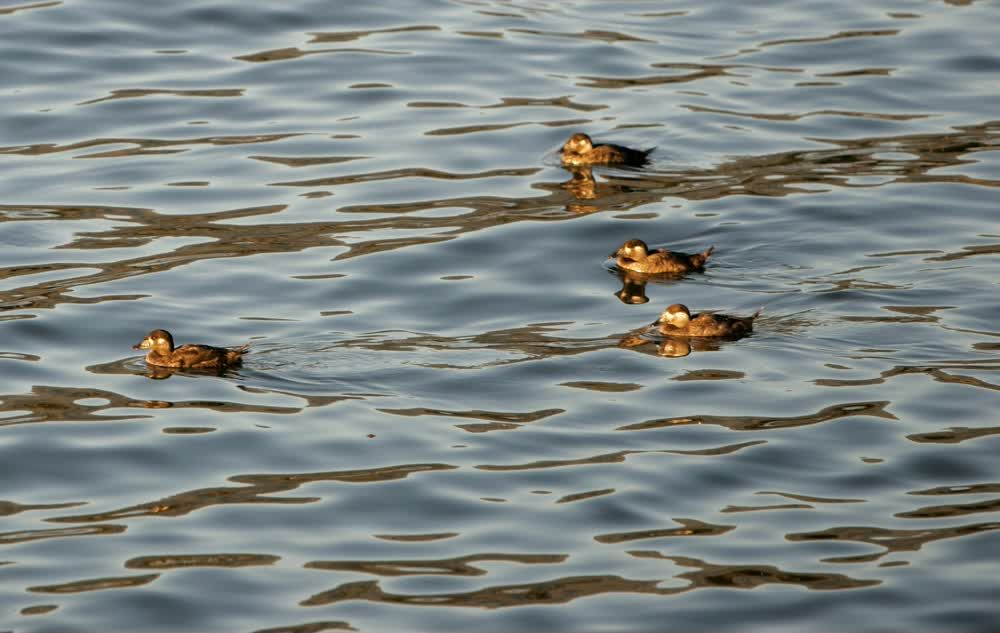 title: Cute Ducks Swimming in Santa Barbara