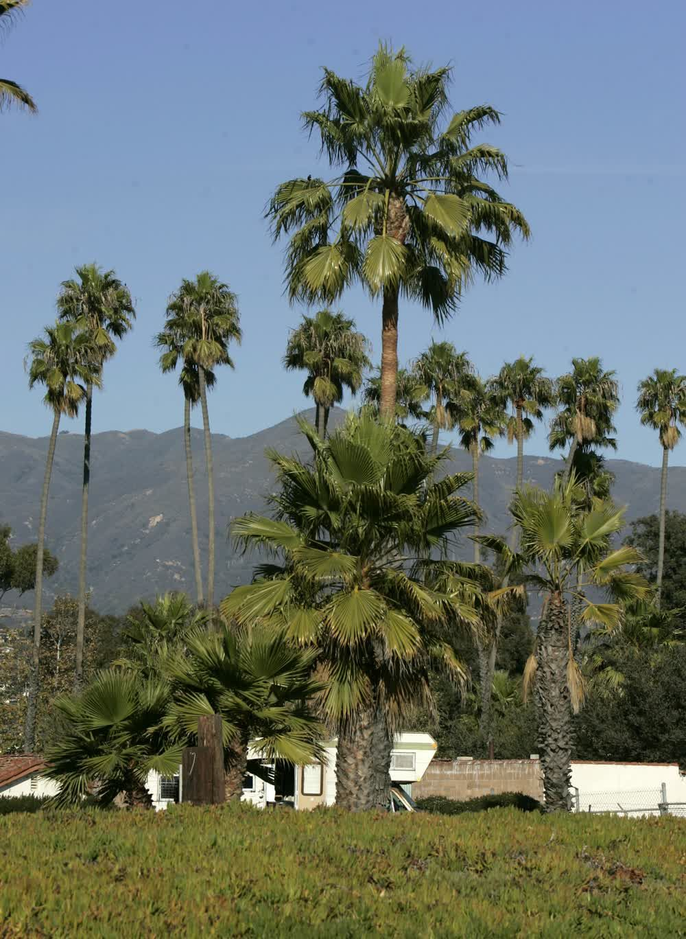 title: Palm trees at Santa Barbara