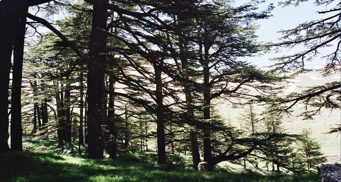 title: Al Arz of Lebanon in the Day Time in Spring