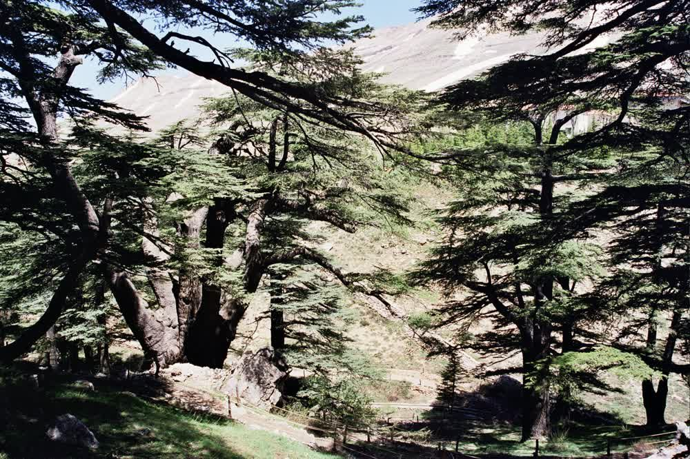 title: Amazing Cedar Forest Scenery in Bcharreh Mountains