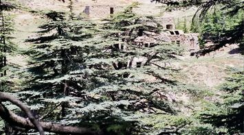 title: Amazing Rustic Cedar Trees in Nature
